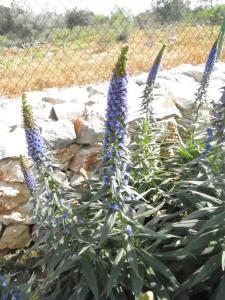 """Echium Candicans """"Pride of Madeira"""""""