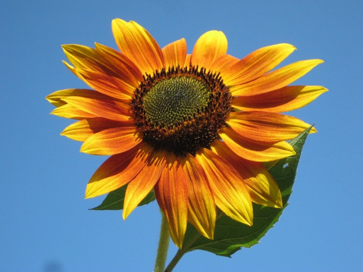 sunflower-105113_960_720