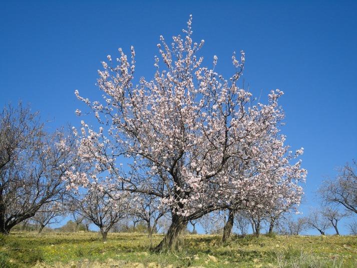 almond-blossom-323829_960_720