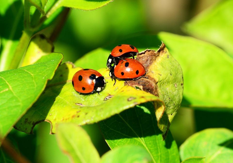 ladybird-326693_960_720.jpg